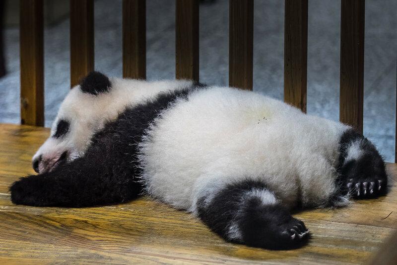 China, Панда