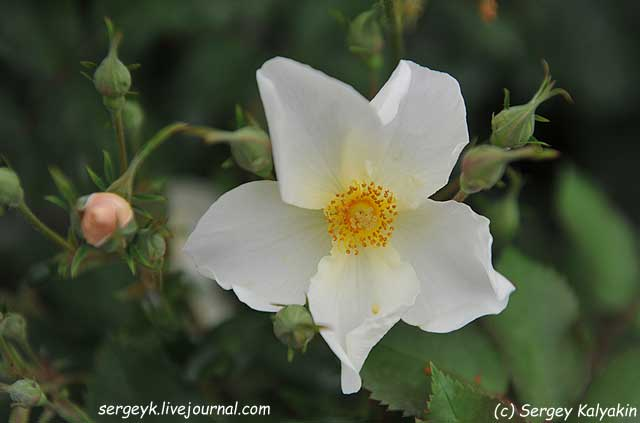 Rosa Kew Gardens (32).JPG