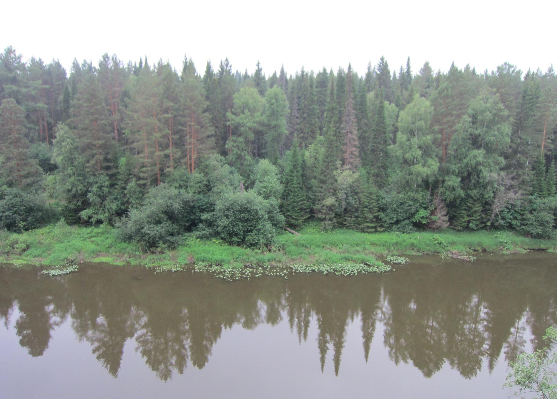 Лес (тайга) на берегу Чусовой - сосны, ели, пихты, лиственницы (08.07.2015)
