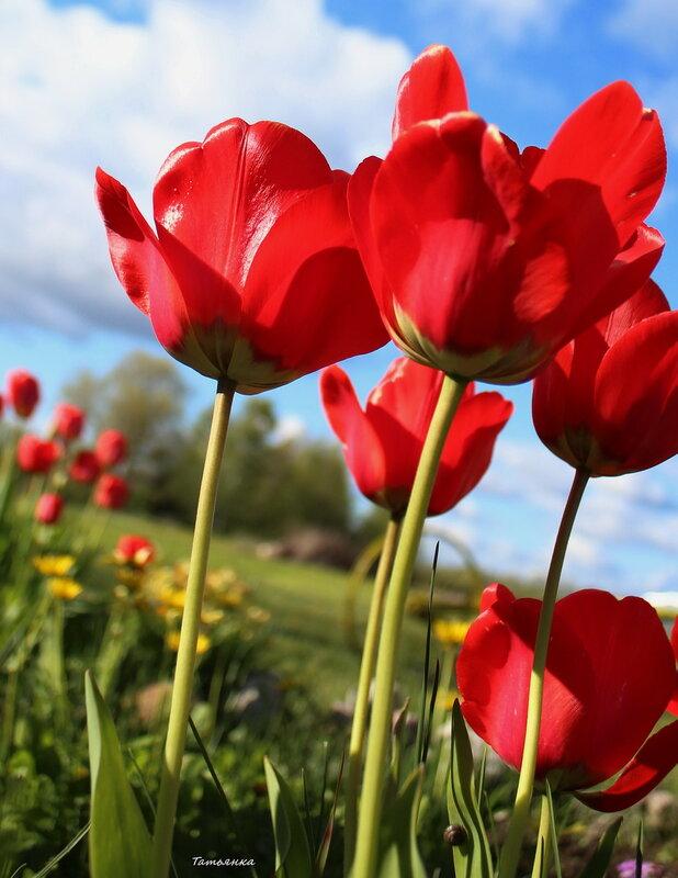 Тюльпанов трепетная  гладь