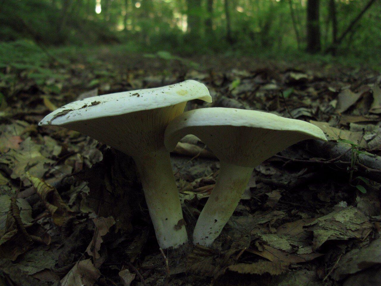 Груздь перечный (Lactarius piperatus). Автор фото: Станислав Кривошеев