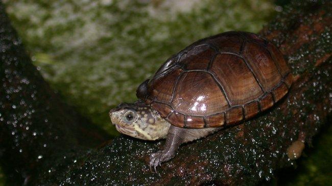 Самая маленькая черепаха.