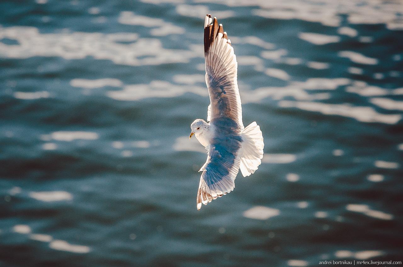 Что мы знаем о чайках?