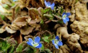 s:травянистые,c:синие или голубые,c:белые