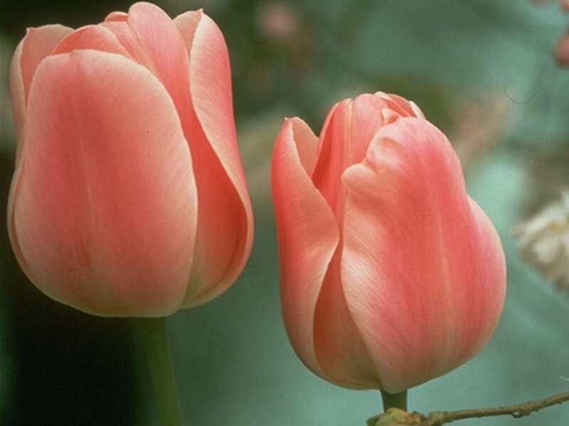 pink-tulips-wallpaper-1024.jpg