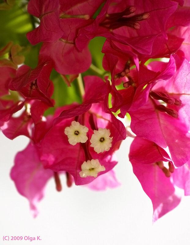 Бугенвиллея (Bougainvillea glabra), семейство никтагиновые (Nyctaginaceae), порядок гвоздичноцветные
