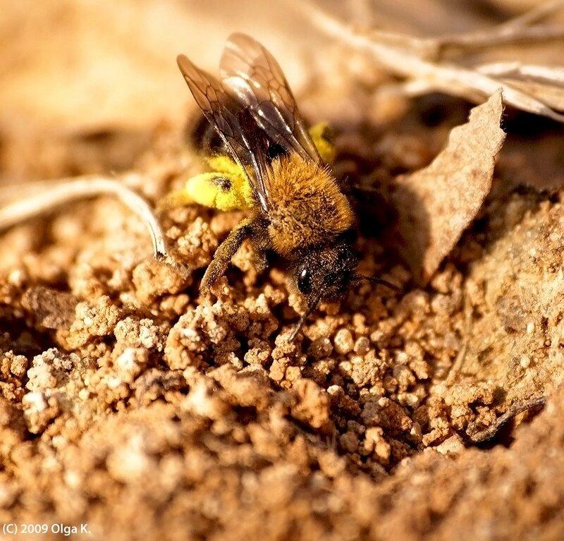 Земляная пчела андрена кларкелла (Andrena clarkella), самка, принесла пыльцу в норку/ семейство андрены (Andrenidae), отряд перепончатокрылые
