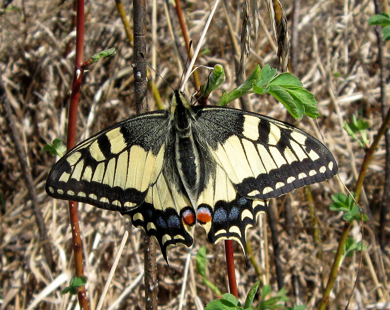 Махаон (Papilio machaon). Автор фото: Олег Селиверстов