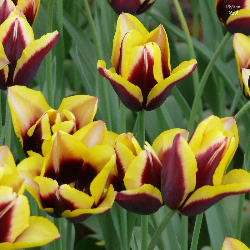 Тюльпаны Койкенхофа