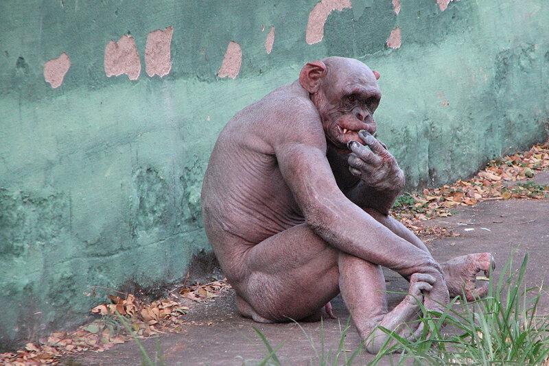 лысый шимпанзе