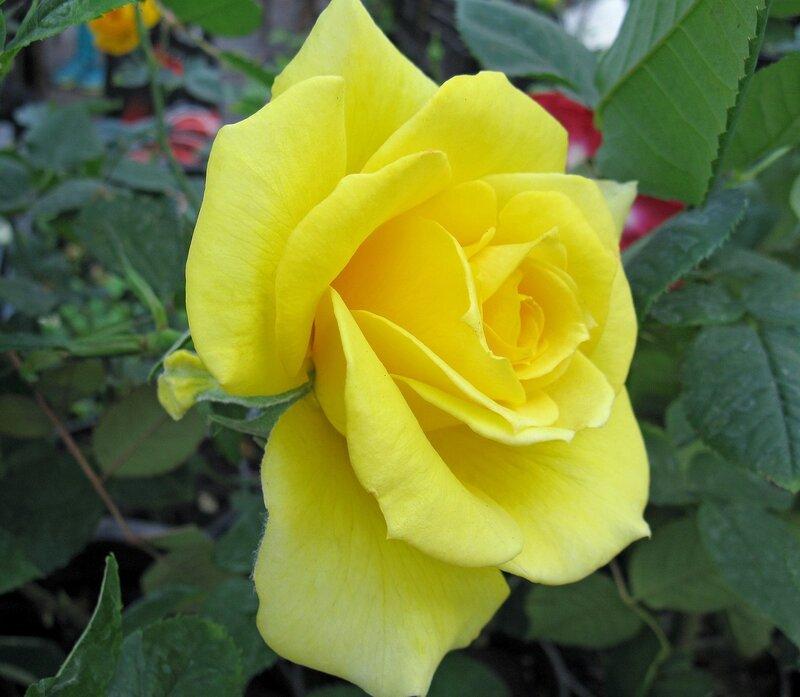 Роза жёлтая.