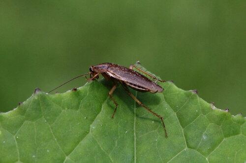 Рыжий таракан, или прусак (Blattella germanica)