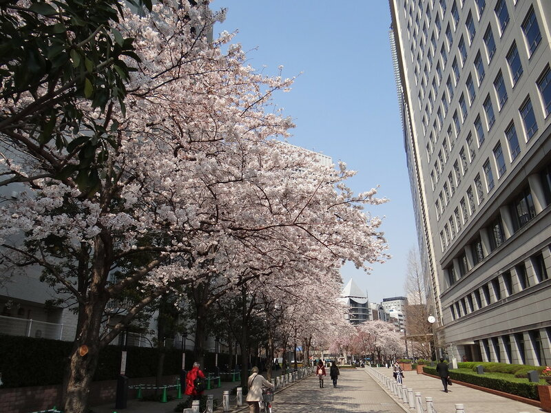 Токио. Сакура бульвара Косю-кайдо