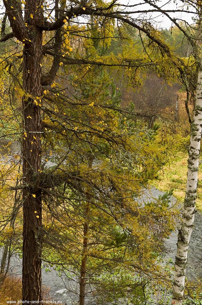 11. Лиственницы в Оленьих ручьях. Поход выходного дня к достопримечательностям в Свердловской области