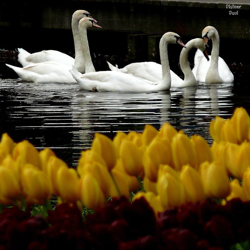 есть в этом парк и система прудов и каналов - и лебеди их неотъемлемая часть....