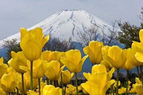 Фудзи и тюльпаны