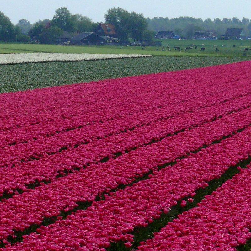 красивые поля с тюльпанами (стати этот цвет - хит сезона!)