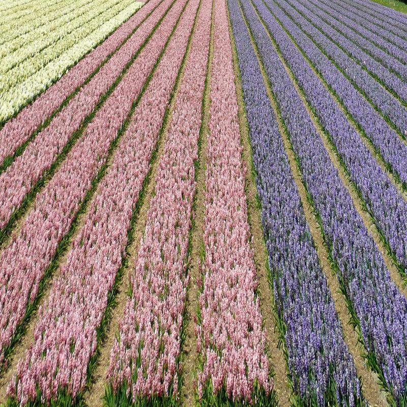 роскошные поля с тысячями  геацинтов