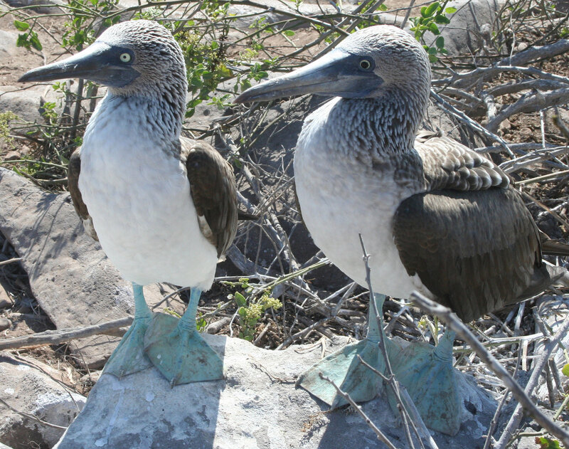 Blue-footed_Booby_Comparison.jpg