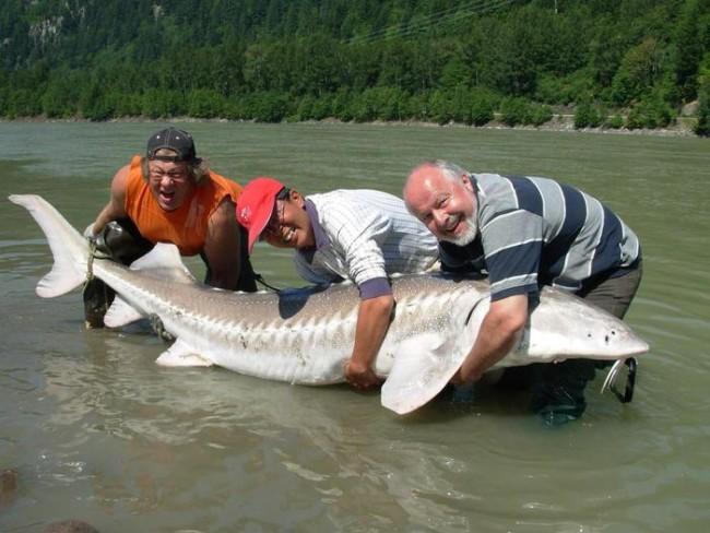 Белуга принадлежит семейству осетровых. Эта крупная рыба обитает на глубине Азовского, Чёрного и Кас