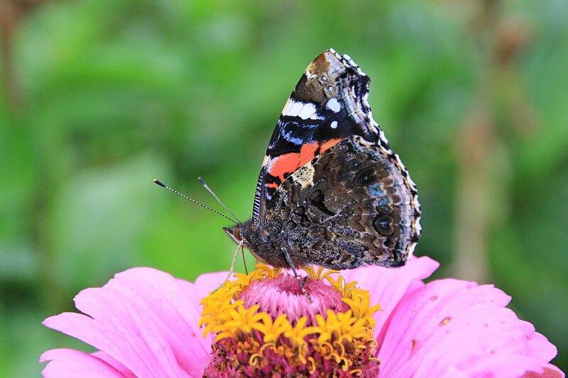 Бабочка Адмирал (лат. Vanessa atalanta) из семейства нимфалид на цветке. Чёрные крылья с красной полосой, белыми пятнами и голубыми отметинами