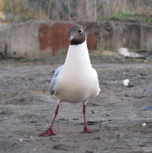 глупая чайка, фото во время прогулки