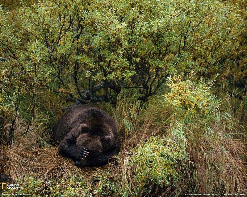 Бурый медведь, Аляска