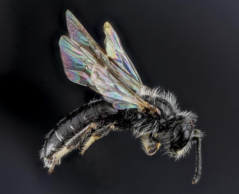 Макрофотографии разноцветных американских пчел 0 13d2b1 815cf957 orig