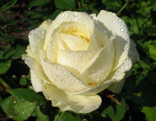 Белая красавица роза
