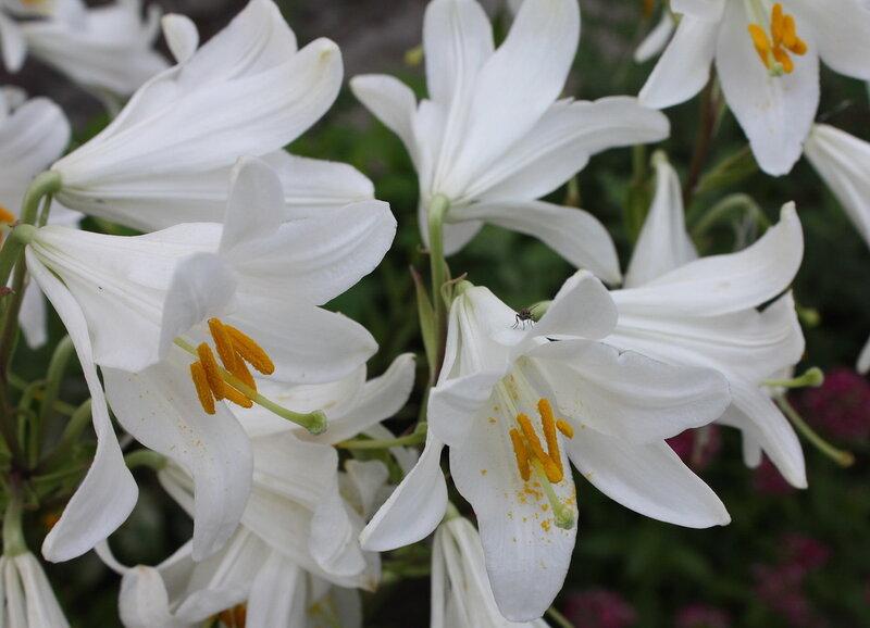 Белая лилия расцвела хрустальным цветком.
