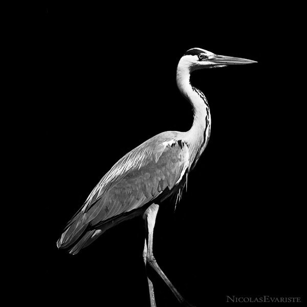 Nicolas Evariste - животные в чёрно-белых тонах