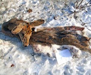 Почему в Шкотовском районе Приморья милиция не справляется с браконьерами?