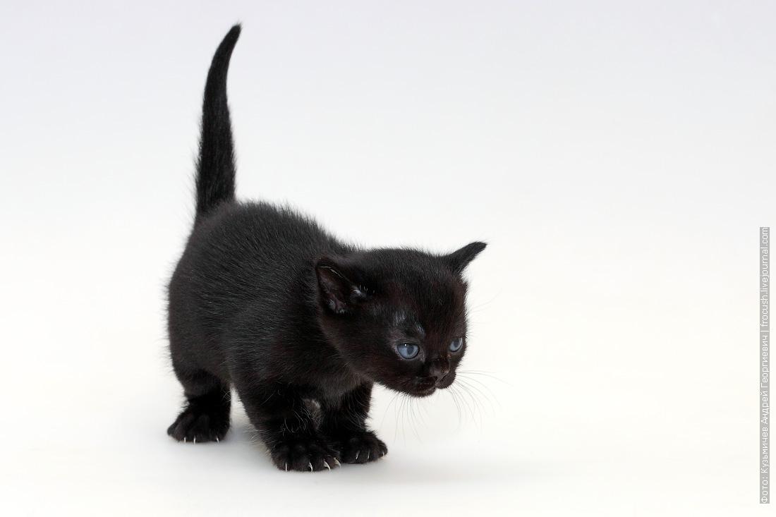 котенок Бомбейской кошки фотография