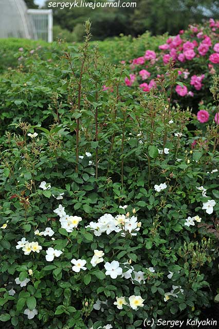 Rosa Kew Gardens (46).JPG