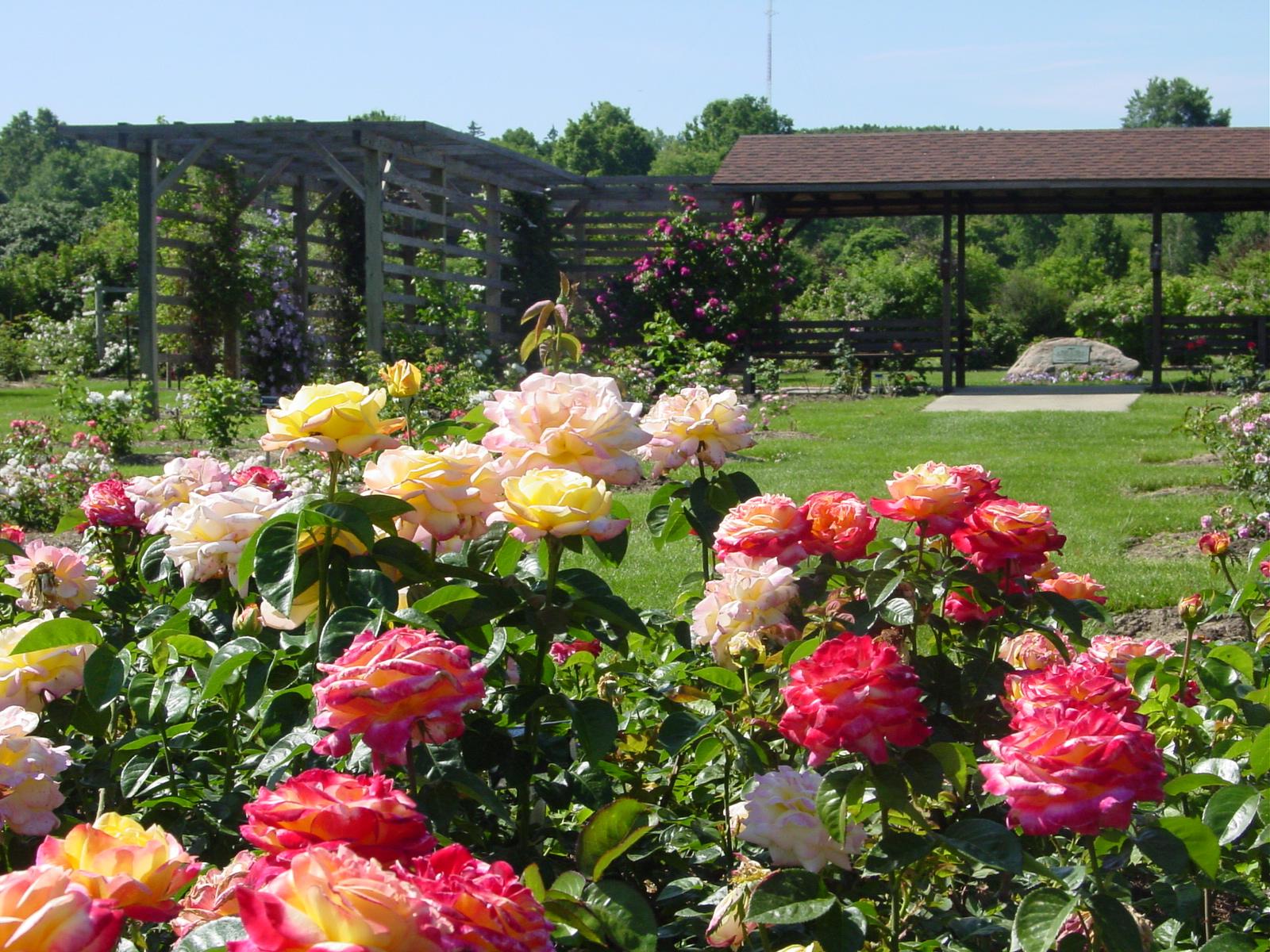 высадка роз