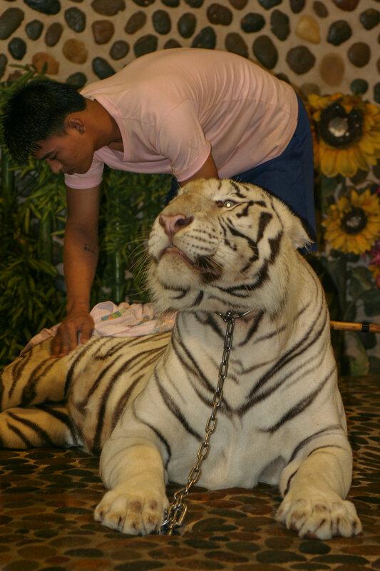 Чистка тигра-альбиноса