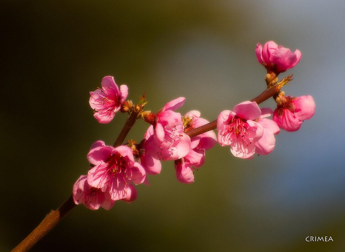 свойства, картинка цветущего персиками самым