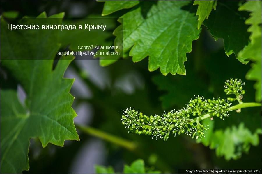 Цветение винограда в Крыму