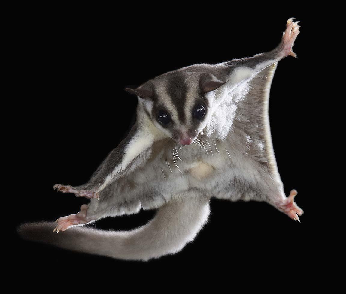 фото летающая белка