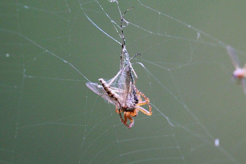 паук впился хелицерами в закутанную в паутину жертву - комара, впрыскивает в него яд и пищеварительные ферменты, чтобы потом высосать переваренные соки