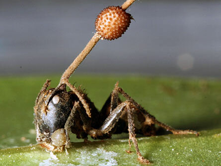 Какие грибы могут превращать муравьёв в зомби?