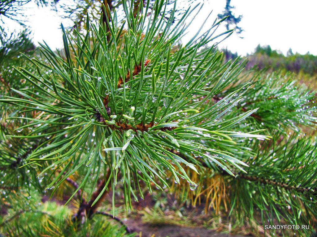 Сосны в лесу после дождя