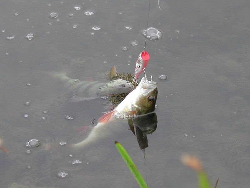 ловля окуня на воблер резиновые рыбки