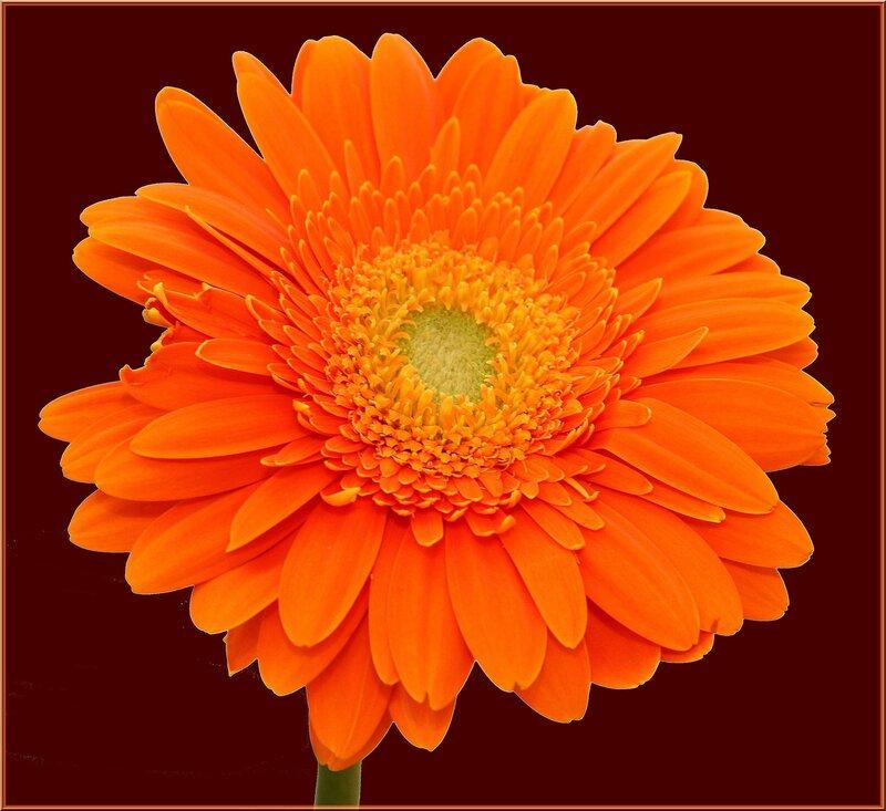 Не последнюю роль в популярности букетов из гербер играет и стойкость этих цветов.  Они достаточно долго могут...