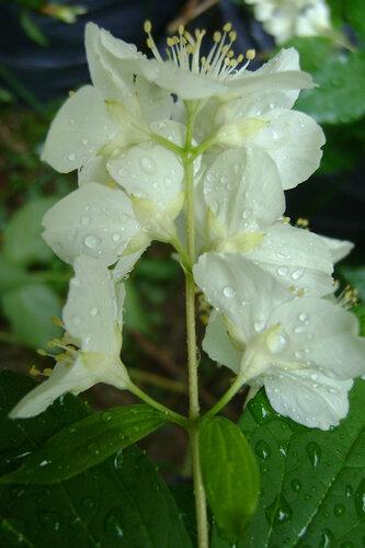 Жасмин после дождя.