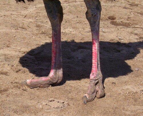 Ножки страуса