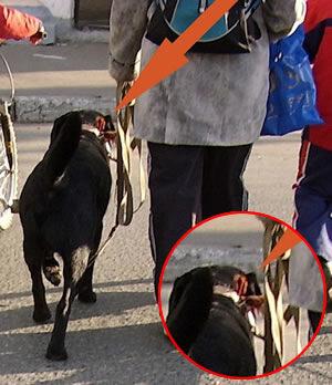 Георгиевская ленточка, повязанная на ошейнике собаки