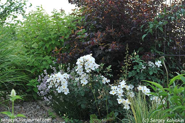 Rosa Kew Gardens (18).JPG