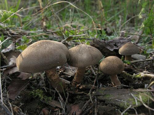 Полипорус майский (Polyporus ciliatus) Автор фото: Станислав Кривошеев