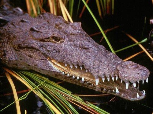 Как размножаются крокодилы?